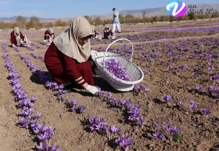 Tại sao là Nhụy hoa nghệ tây (Saffron) lại đắt tiền?